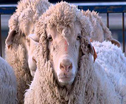 Scientists create a sheep that's 15% human - photo mailonsunday.co.uk